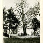 Tulip Tree, Huntington, Long Island