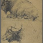 Brahman bulls (recto) and Bison and Head of Water Buffalo (verso)