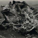 Drift Stump, North Coast