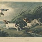 Portraits of Springing Spaniels