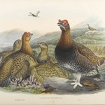 Logopus Scoticus - Red Grouse