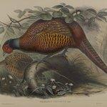 Phasianus Colchicus: Common Pheasant