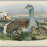 Otis Torda - Great Bustard