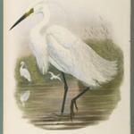 Herodias Garzetta - Little Egret