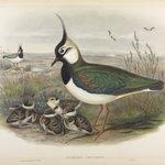 Vanellus Christatus - Lapwing or Peewit