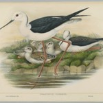 Himantopus Candidus - Stilt or Long Legged Plover