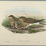 Glareola Pratincola - Common Pratincole