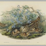 Scolopax Rusticola, Woodcock