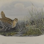 Gallinago Major - Great Snipe