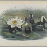 Gallinula Choropus