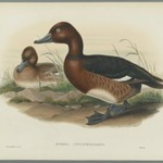Nyroca Leucophtalmos: White Eyes, or Ferruginous Duck