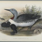 Colymbus Septentrionalis: Red Throated Diver