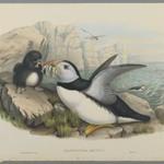 Fratercula Artica: Puffin