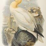 Sula Bassana: Gannet, or Solan Goose