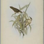 Locustella Certhiola: Creeping Locustelle