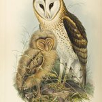 Strix Candida-Tickell: Grass Owl