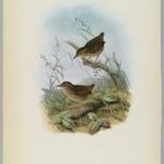 Turdinulus Roberti: Roberts Pygmy Babbler