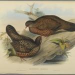 Galloperdix Spadiceus