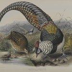 Thaumalea Amherstiae: Lady Amherts Pheasant