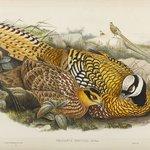 Phasianus Reevesii: Reeves Pheasant