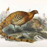 Phasianus Soemmerringii: Saumerings Pheasant