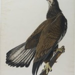 White - Headed Eagle