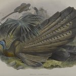 Argus Giganteus: Great Argus Pheasant