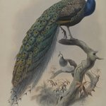 Pavo Cristafus- Common Pea Fowl