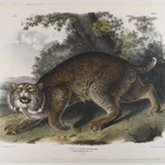 Common American Wildcat