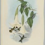 Calothorax Mulsanti: Mulsants Wood Star