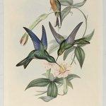 Pterophanes Temmincki: Temmincks Humming Bird
