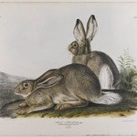 Townsends Rocky Mountain Hare