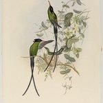Trochilus Polytnus