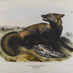American Cross Fox