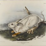 Northern Hare (Winter Pelage)