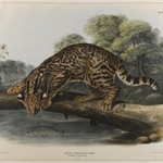 Ocelot or Leopard-Cat