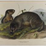 Hoary Marmot - The Whistler
