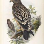 Aquila Naevia - Spotted Eagle