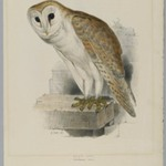 Strix Flammea - Barn Owl