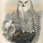 Nyctea Nivea - Snowy Owl