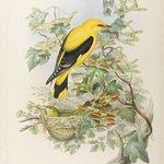 Oriolus Galbula - Golden Oriole