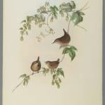 Troglodytes Europaeus - Common Wren