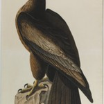 Bird of Washington or Great American Sea Eagle