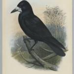 Corvus Frugilegus - Rook