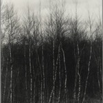 [Untitled] (Birch Trees)
