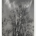 [Untitled] (Birches)