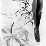 Two Orchids, Brassia Lanceana, Cattleya Labiata