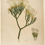 Botanical Study of a Lily