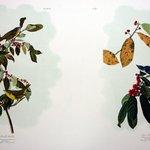 Nashville Warbler and Azure Warbler