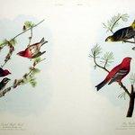 Crested Purple Finch and Pine Grosbeak